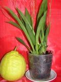兰花和柠檬 库存照片