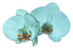 兰花在与裁减路线的白色背景隔绝的绿松石花 特写镜头 绿松石与橙色v的兰花植物花 库存图片