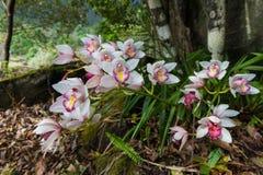 兰花在土井Inthanon国家公园, Chiangmai,泰国 免版税库存照片