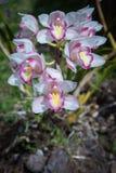 兰花在土井Inthanon国家公园, Chiangmai,泰国 库存照片