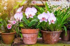 兰花在泥罐开花在一个热带湿森林里 库存照片