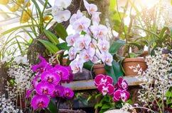 兰花在泥罐开花在一个热带湿森林里 免版税图库摄影
