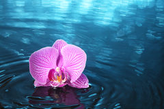 兰花在水中 免版税库存图片