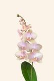 兰花小树枝在精美淡粉红开花在软的淡色背景 库存图片