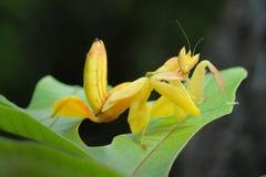 兰花捕食的螳螂在泰国 免版税图库摄影