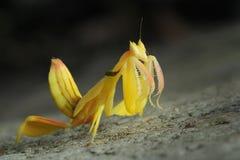 兰花捕食的螳螂在泰国 库存照片