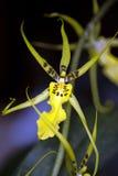 兰花星形黄色 免版税图库摄影