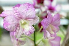 兰花是一个喜爱在庭院里 库存照片