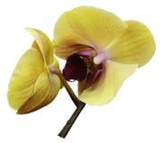 兰花桃红色黄色花 查出在与裁减路线的空白背景 特写镜头 兰花分支 库存照片