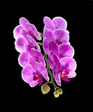兰花植物。五颜六色的桃红色兰花 免版税库存照片