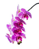 兰花植物。五颜六色的桃红色兰花 图库摄影
