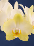 兰花植物兰花。花。 图库摄影