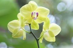 兰花植物兰花在绽放开花装饰自然秀丽  免版税库存照片