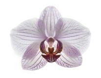 兰花植物兰花是象鸟 免版税库存照片