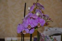 兰花植物兰花 它迷住与瓣的形状,不可思议的芳香,精美颜色 库存照片