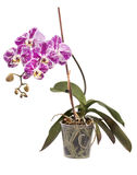 兰花植物在一个罐的兰花灌木在白色 图库摄影