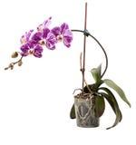 兰花植物在一个罐的兰花灌木在白色 库存图片
