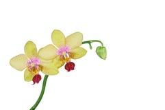 兰花植物在白色隔绝的兰花花 免版税库存照片