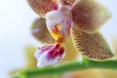 兰花植物杂种 美丽的种类罕见的兰花 图库摄影