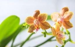 兰花植物杂种 美丽的种类罕见的兰花 免版税库存照片