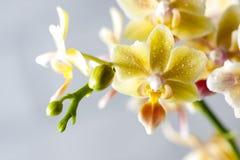兰花植物杂种 美丽的种类罕见的兰花 免版税库存图片