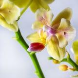 兰花植物杂种 美丽的种类罕见的兰花 库存照片