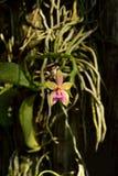兰花植物杂种 库存照片