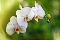 兰花植物白色 库存图片