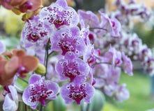 兰花植物花在春天开花装饰自然秀丽  免版税库存图片
