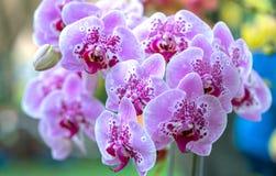 兰花植物花在春天开花装饰自然秀丽  免版税库存照片