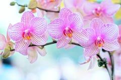 兰花植物花在春天开花装饰自然秀丽  图库摄影