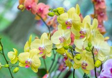 兰花植物花在春天开花装饰自然秀丽  库存图片