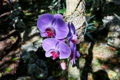 兰花植物类生长在它的自然生态环境的蝴蝶兰的亦称兰花 充满活力的紫色和红颜色,与vei 免版税库存照片