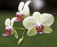 兰花植物 免版税图库摄影