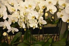 兰花植物amabilis,月亮兰花 库存照片