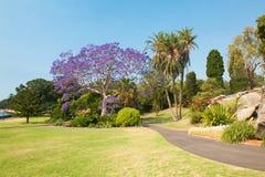 兰花楹属植物四边形悉尼结构树大学 免版税图库摄影