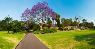 兰花楹属植物四边形悉尼结构树大学 图库摄影