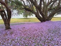 兰花楹属植物四边形悉尼结构树大学 库存图片