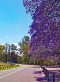 兰花楹属植物四边形悉尼结构树大学 库存照片