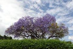 兰花楹属植物四边形悉尼结构树大学 免版税库存照片