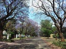 兰花楹属植物城市-紫色的比勒陀利亚 免版税库存图片