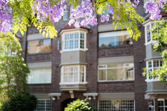 兰花楹属植物开花与在背景的未聚焦的大厦 库存照片