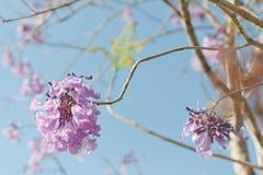 兰花楹属植物开花和蓝天 免版税库存图片