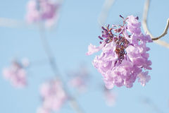兰花楹属植物开花 库存照片