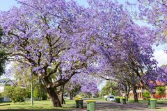 兰花楹属植物树在澳大利亚晒干 库存图片