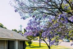 兰花楹属植物树在澳大利亚 免版税库存图片
