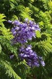 兰花楹属植物树开花 免版税库存照片
