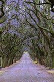 兰花楹属植物树形成在街道的机盖 图库摄影