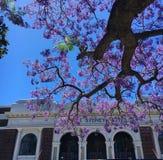 兰花楹属植物树悉尼旅馆外 图库摄影