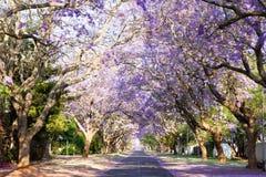 兰花楹属植物树木成行街道在南非的首都 免版税库存照片